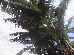 bananiers (semowilson) Tags: africa agriculture cameroon cameroun champ biodiversity bamiléké biodiversite biologie biology banana brousse afrique sauvage
