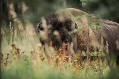 Bison très près... (Samuel Raison) Tags: bison bisons buffalo buffalos wildlife nature wildlifephotography naturephotography nikon nikond800 nikon2870200mmafsvr