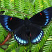 Necyria bellona (Over 4 million views!) Tags: butterfly necyriabellona peru riodinidae butterflies insect