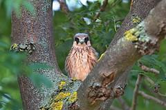 R91A2149 (chavko) Tags: bird hawk chavko falco vespertinus redfooted falcon slovakia sky animal people photo wildlife tree