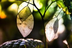Sheer (Maria Eklind) Tags: garden autumn sheer genomskinlig gothenburg göteborg trädgårdsföreningen bokeh sweden city dof flower höst depthoffield västragötalandslän sverige se