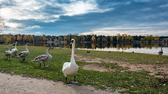 Schwäne am Dechsendorfer Weiher 1205 (Peter Goll thx for +10.000.000 views) Tags: 2018 autumn natur herbst dechsendorf nature erlangen bayern deutschland de swan schwan lake bond bischofsweiher dechsendorferweiher