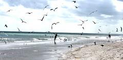 Flying (thomasgorman1) Tags: beach birds flying seagulls gulls shore atlantic ocean sea nikon clouds cloudy overcast joy