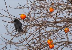 Crow, Persimmons (Dan Brekke) Tags: