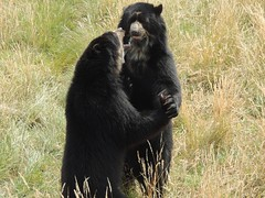 Strictly Bear Dancing (Kevin Pendragon) Tags: spectacled bears brown black claws hair fur grass grassland outdoors summer summertime noahsarkzoo natue naturephotography