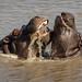 Hippos playing in Hwange National Park, Zimbabwe