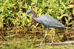 Little Blue Heron (Eric E Haas) Tags: edgemere maryland unitedstates usa lens tamron150600mm animals birds egrettacaerulea herons littleblueheron pelecaniformes
