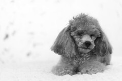 Tina-LR-DSC_2793-2 (studiofuntas) Tags: プードル トイプードル ティーカッププードル poodle toypoodle teacuppoodle モノクローム monochrome 犬 dog pet ペット ロケーション撮影 リクエスト撮影 locationphoto locationshooting