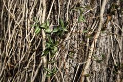 Winter Vines And Green Leaves (Modkuse) Tags: natureart vines winter leaves nature natural photoflat art artphotography fineartphotography fineart photoart fujifilm fujifilmxt2 xt2 xf35mmf2rwr fujinon fujinonxf35mmf2rwr