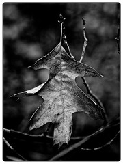 Leaf in Black and White (Bob Shrader) Tags: olympusem5markii olympusm75300mmf4867ii 164mm f71 120sec 500iso raw microfourthirds mft m43 mirrorless austin texas unitedstates northamerica ladybirdjohnsonwildflowercenter garden landmarks botanicgardenoftexas unitedstatesofamerica america us usa nature plant leaves leaf em5markii zoomlens olympusmzuikodigitaled75300mmf4867ii closeup macro outdoors exterior on1 photoraw2019 dxo dxonikcollection silverefexpro2 filmtype ilfordxp2super400 filter bluefilter blackandwhite bw blackwhite monochrome fauxfilm bwnegativefilm monotone photoborder photoedge photoframe postprocessing preset lowkey