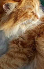 Queen Cat in Detail (Zohaib Usman (1M Thanks)) Tags: cat cats catphoto catslovers catsandpets catsandanimals loveofcats kitten catsandkittens cutecat catsarelazy catsarecute catswelove loveofpets pets fauna petsandanimals animals zohaibusmanphotography zohaibusman