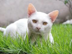 a white cat (anacserafim) Tags: brasil animal natureza cute brazil cat fotografia nature verde green branco gato
