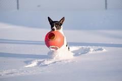 Hanna 2/52 (block109) Tags: 52weeksfordogs fujifilm xt3 dog snow terrier action