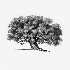 Vintage tree illustration (Free Public Domain Illustrations by rawpixel) Tags: antique art arts artwork black botanical botany cc0 creativecommons0 decor decoration decorative drawing ecology element engraved engraving environment fineart garden graphic graphite green historic historical history houseplant illustration ink isolatedonwhite leaf name nature painting pencil plant publicdomain retro sketch sketching spring tree tropical victorian vintage whitebackground