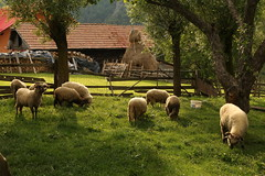 Rural Transylvania (Derbyshire Harrier) Tags: sheep 2018 magura romania orchard grazing shade haystack june summer naturetrek transylvania rural farming
