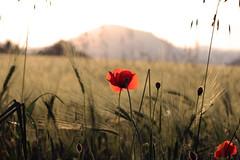 I wonder why now everything seems different... (raffaella.rinaldi) Tags: poppy poppies summer feeling summertime sadness nature landscape thinking wheat harvest