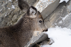 Side portrait view of a doe mule deer in the snow (m01229) Tags: youn portrait cute mammal bark meadow brown animal hemionus banffnationalpark male ruminant herbivore hoofed life outdoors canada ungulate eating free face grazing back flower wildlife pasture doe winter green feed graze deer wild mule head fur black grass forest ears alberta nature park looking muledeer alert field