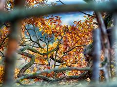 #Autumn (Elenovela) Tags: autumn herbst blätter leaves frame rahmen baum tree dof manualfocus vintageprime metabonesspeedbooster minoltamd135mmf20 olympusem1markii elenovela karstenmüller festbrennweite
