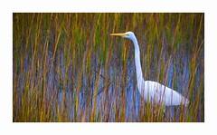 Great Egret in the Autumn Marsh Grass (George McHenry Photography) Tags: shorebirds birds egrets greatwhiteegret southcarolinabirds southcarolina nikkor200500 nikond7500