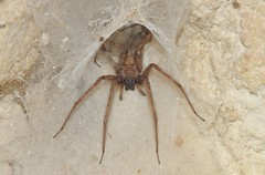 Cardinal Spider (Tegenaria parietina) (Nick Dobbs) Tags: cardinal spider tegenaria parietina arachnid arthropoda
