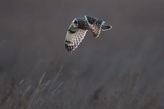 Short Eared Owl flying in front of the sun (Chris Bainbridge1) Tags: asioflammeus shortearedowl cambridgeshire fens inflight back lit sunset