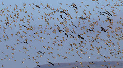 Golden Plover and Lapwing in flight (robin denton) Tags: alkboroughflats lincolnshire wildlife flock birds wetlands nature flight flying plover lapwing goldenplover greenplover peewit vanellusvanellus pluvialisapricaria