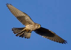Kestrel (F) (Falco tinnunculus) - Taken at Harley Way, Oundle, Northants. UK (Ian J Hicks) Tags: