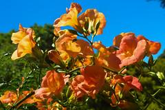 Chinese Trumpet Creeper (campsis grandiflora) (Seventh Heaven Photography **) Tags: flower flora bloom nikon d3200 chinese trumpet creeper campsis grandiflora orange