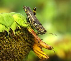 0981ex  grasshopper on the move (jjjj56cp) Tags: grasshopper insect inthewild farm sunflower flowers blossoms blooms gormanheritagefarm cincinnati oh ohio cincinnatiohio autumn fall harvest p1000 coolpixp1000 nikoncoolpixp1000 jennypansing closeup details posing dof bokeh ngc npc