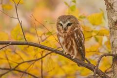 Northern Saw Whet Owl (Rob E Twoo) Tags: