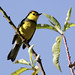 Collared Redstart, Myioborus torquatus Ascanio_Costa Rica 199A5153