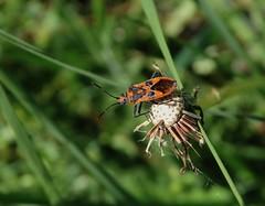 Corizus hyoscyami (rockwolf) Tags: corizushyoscyami punaise rhopalidae hemiptera heteroptera insect leboisprieur forêtdefontainebleau france