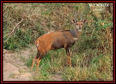 BUSHBUCK (Tragelaphus scriptus)......MASAI MARA......SEPT 2018. (M Z Malik) Tags: nikon d3x 200400mm14afs kenya africa safari wildlife masaimara keekoroklodge exoticafricanwildlife