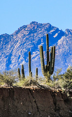 Saguaro Compression (Buck--Fever) Tags: saguaros saguaro arizona arizonaskies arizonadesert arizonawonders earthnaturelife fourpeaksmountain fourpeaks mazatzalmountains canon60d tamron18400lens rooseveltlake nature landscape cactus telephotolenscompression telephoto