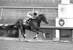 "2018-11-30 (58) r6 Jorge Ruiz on #3 Legend's Hope - monochrome (JLeeFleenor) Tags: photos photography md marylandhorseracing maryland marylandracing laurelpark monochrome bw blackwhite jockey جُوكِي ""赛马骑师"" jinete ""競馬騎手"" dżokej jocheu คนขี่ม้าแข่ง jóquei žokej kilparatsastaja rennreiter fantino ""경마 기수"" жокей jokey người horses thoroughbreds equine equestrian cheval cavalo cavallo cavall caballo pferd paard perd hevonen hest hestur cal kon konj beygir capall ceffyl cuddy yarraman faras alogo soos kuda uma pfeerd koin حصان кон 马 häst άλογο סוס घोड़ा 馬 koń лошадь outdoors outside"