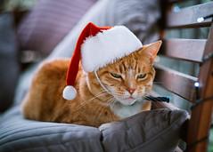 Ho Ho Meow... (Eddy Summers) Tags: cat catsofflickr cats catsofinstagram flickrcats flickrcat xmas christmas santa hat funny humour pentaxk1 pentaxaustralia pentax k1captures k1 rni reallyniceimages kodak kodakelite01 gingertabby ginger gingercat