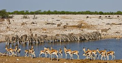 Sedientas (Jhaví) Tags: etosha namibia cebras wild safari trip travel africa animals wildlife