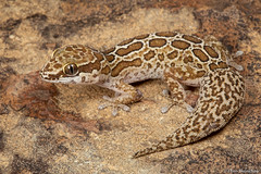 Golden Spotted Gecko (Pachydactylus oculatus) (Theo Busschau) Tags: goldenspottedgecko pachydactylus gecko spottedgecko reptile reptilemacro reptilesofsouthafrica reptilephotography lizard herps herping herpingsouthafrica herpphotography herpetology fieldherping nature naturephotography ngc wildlife wildlifephotography wilderness