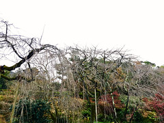 late autumn at the Tenryū-ji gardens (deziluzija) Tags: japanesegarden koyo tenryūji trees willows