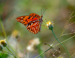 Orange butterfly (vickyouten) Tags: butterfly butterflies orangebutterfly nature wildlife nikon nikond7200 nikonphotography falmouth america usa vickyouten