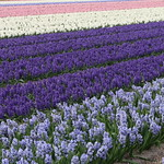 Hyacinth field Holland thumbnail