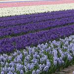 Hyacinth field Holland thumbnail