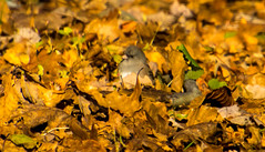 7K8A1109 (rpealit) Tags: scenery wildlife nature weldon brook management area darkeyed junco bird