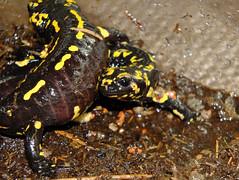 Salamandra salamandra gallaica, Paarung (R.S. aus W.) Tags: schwarz gelb ampibien salamander feuersalamander salamandra gallaica portugal deutschland germany haltung zucht artenschutz conservation paarung art species