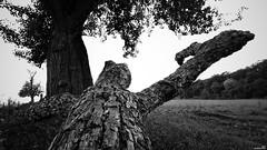Monster (Un jour en France) Tags: monochrome monstre arbre forêt canoneos6dmarkii canonef1635mmf28liiusm noiretblanc noiretblancfrance trees