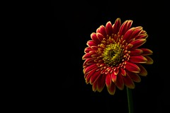 Low Key Gerbera. (williams.darrell53) Tags: bloom gerbera australia colour color dark low key black red canon still life