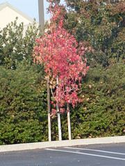 2018-11-18 - Young trees with red fall color Leaves (Klaus Naujok) Tags: 20181118 album