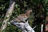 Hazel Grouse at Majavatn S24A0291 (grebberg) Tags: majavatn grane nordland norway august 2018 hazelgrouse bonasabonasia bonasa grouse bird