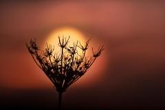 Sonnenfänger (SonjaS.) Tags: suncatcher sonnenfänger wildemöhre sonne sun sonnenuntergang sunset goldenestunde sonjasayer
