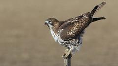Red Tail Hawk (Bill G Moore) Tags: redtailhawk naturephotography birdofprey wild wildlife colorado canon raptor